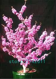 aliexpress com buy 20pcs bag bauhinia seeds cercis chinensis