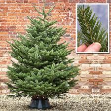 Christmas Tree Buy Online - nordmann fir christmas trees buy online at woodside flowers in