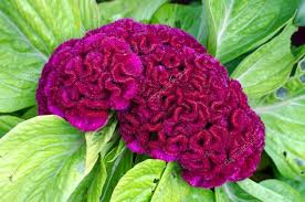 cockscomb flower purple cockscomb flower stock photo nop16 52085717