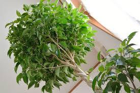 weeping fig ficus benjamina 15 houseplants for improving