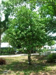 trees tropical florida gardens