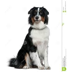 1 australian shepherd australian shepherd dog 1 year old sitting stock photo image