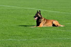 belgian shepherd vancouver top dog training
