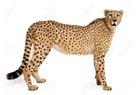 cheetah images u0026 stock pictures royalty free cheetah photos and