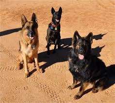 belgian sheepdog vs belgian shepherd tell me about ddr line german shepherds ar15 com