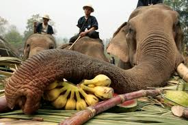 The Blind Men And The Elephant Analysis Inside The Elephant Tourism Industry In Thailand The Atlantic