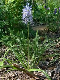 missouri native plant society know your natives u2013 wild hyacinth arkansas native plant society