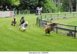 afghan hound group hound group stock photos u0026 hound group stock images alamy