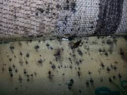 Bed Bugs On Mattress How To Get Rid Of Bed Bugs Tuck Sleep