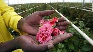 why kenya is the flower garden of europe cnn