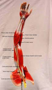 Human Anatomy Muscle Best 25 Arm Muscle Anatomy Ideas Only On Pinterest Muscles Of
