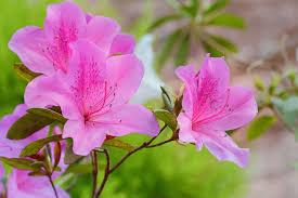 Blue Lotus Flower Meaning - azalea flower meaning flower meaning