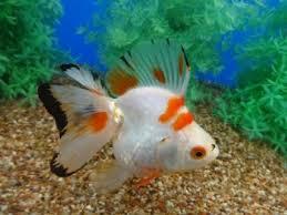 249 best betta fishies images on goldfish beautiful