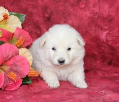 american eskimo dog for sale ontario cute little mini american eskimo puppies puppyindex