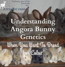 understanding angora bunny genetics breed