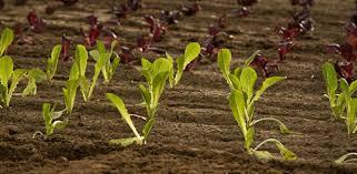 vegetable garden growing cool season vegetables today u0027s homeowner