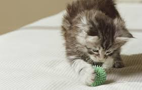 how to teach your cat to fetch