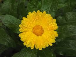 calendula flowers calendula