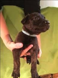 belgian sheepdog ohio litter of 5 belgian malinois dutch shepherd dog mix puppies for