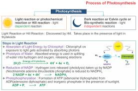 Where Do The Light Independent Reactions Occur Photosynthesis U2013 Icse Solutions For Class 10 Biology