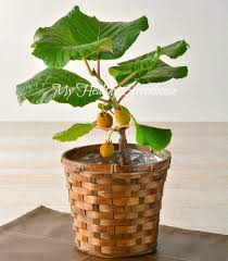 aliexpress com buy thailand mini kiwi fruit 100 pcs bonsai