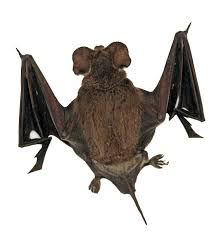 types of bats in alameda county vector control services