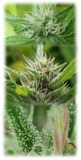 the beauty of the ripening marijuana bud top is the unripen flower