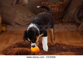 australian shepherd puppies 7 weeks australian shepherd puppy 7 weeks black tri stock photo