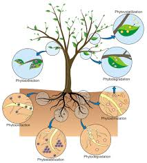 phytoremediation of soils contaminated with metals and metalloids