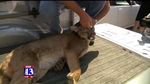 cat runs into glass door mountain lion crashes through apartment window lands on sleeping