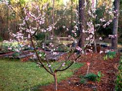 How To Grow Apple Trees In Backyard Edible Landscaping Planning A Small Home Orchard Garden Org