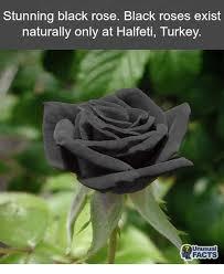 real black roses 25 best memes about black roses black roses memes