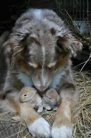 australian shepherd vocal the 20 best images about dogs on pinterest
