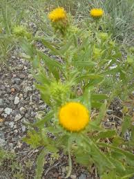 healing properties of grindelia wildlettucegal u0027s blog