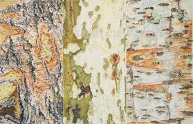 my drawing tree bark medley 12 x 18 colored pencil on