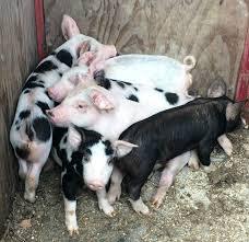 raising feeder pigs u2013 concrete or pasture u2013 farm fresh for life
