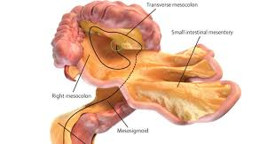 The Human Anatomy Pictures What Is The Mesentery Doctors Discover New Organ In Human Body