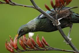 native nz plants tui new zealand birds online