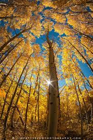 aspens fall color sunburst eastern sierras