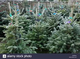 real christmas trees for sale on conifer christmas trees awaiting sale in garden centre