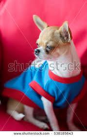 The Red Sofa Chihuahua Dog Watching Tv Movie Sitting Stock Photo 649297486