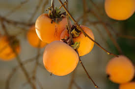 persimmon health benefits u0026 nutritional value health globe
