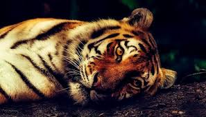 dreams about tigers meaning and interpretation
