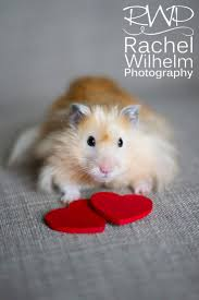 606 best hamsters images on pinterest animals dwarf hamsters