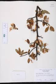 plants native to south carolina malus angustifolia species page isb atlas of florida plants