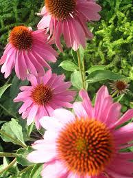 fleurs vivaces rustiques jardins secrets