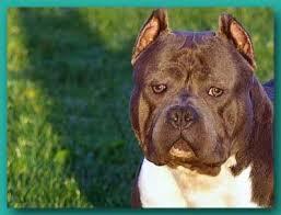 Seeking Pitbull Razors Edge Pitbulls Razors Edge Kennels Razor Edge Pit Bulls