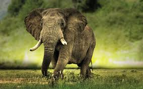 free elephant image long wallpapers