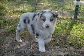 d b australian shepherds australian shepherd puppy for sale near columbia jeff city