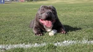 american pitbull terrier puppies louisiana excalibur the 63 000 00 dog american bully kennel de la loma